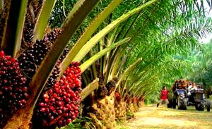 oil-palm-300x183